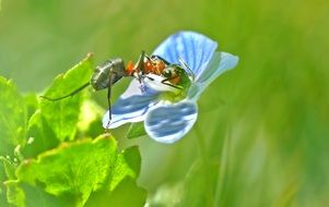 Wood Ant on a delicate flower