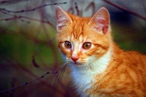 young red mackerel tabby Cat portrait