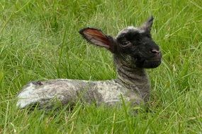 Young Lamb on a pasture