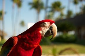 red parrot with big beak