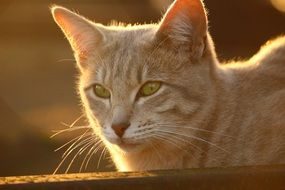portrait of a domestic cat in evening lights