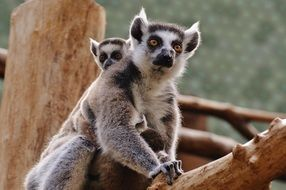 mother lemur with child
