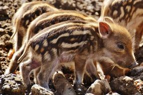 tiny cute wild piglets in the wildpark poing