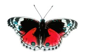 red-black exotic butterfly