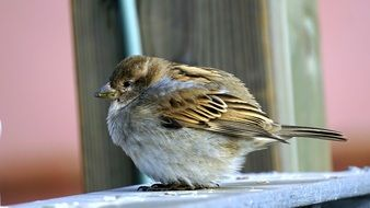 furry sparrow on a wooden bench