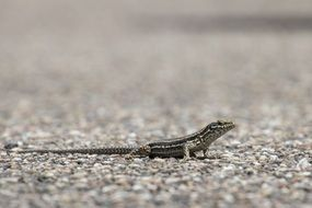 gray lizard on the road