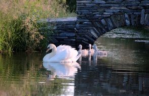 white swan with cygnets