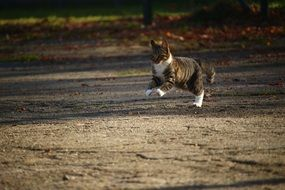 Autumn Young tabby Cat jumping