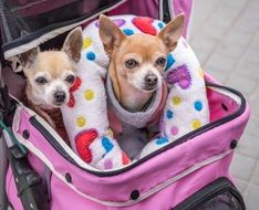 Dogs Small Chihuahuas