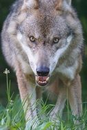 ravenous wolf goes forward on a green grass