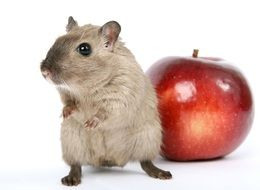 cute hamster and red apple