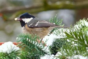 coal tit on the snowy firtree