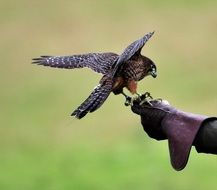 endangered new zealand falcon