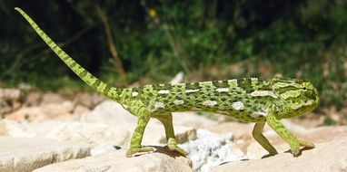 green chameleon on the shore of the Mediterranean Sea