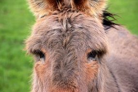 portrait of a domestic donkey