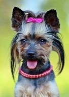 Fashionable Yorkie Dog