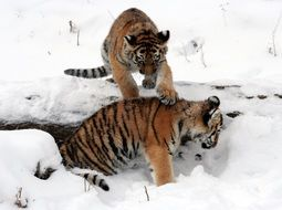 two tiger cubs play in the snow