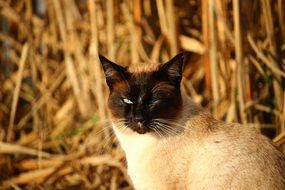 siamese cat in evening lights