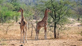 young giraffes in the national park in namibia