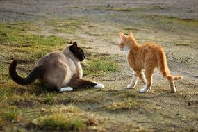 red and Siamese Cats Play outdoor