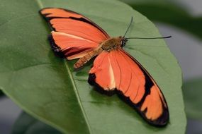orange Butterfly on green leaf