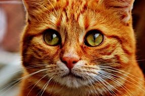 sweet red mackerel tabby-cat