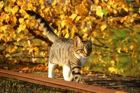 young Cat in front of Autumn Leaves