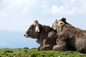 cows in alpine mountain meadows