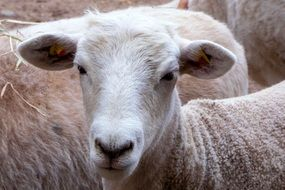 sheep in a herd close-up