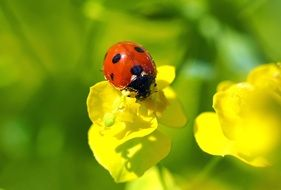 cute ladybug on a yellow flower