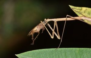 Stick Insect Walking