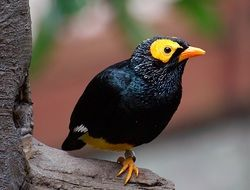 Yellow Faced Myna or Mino dumontii