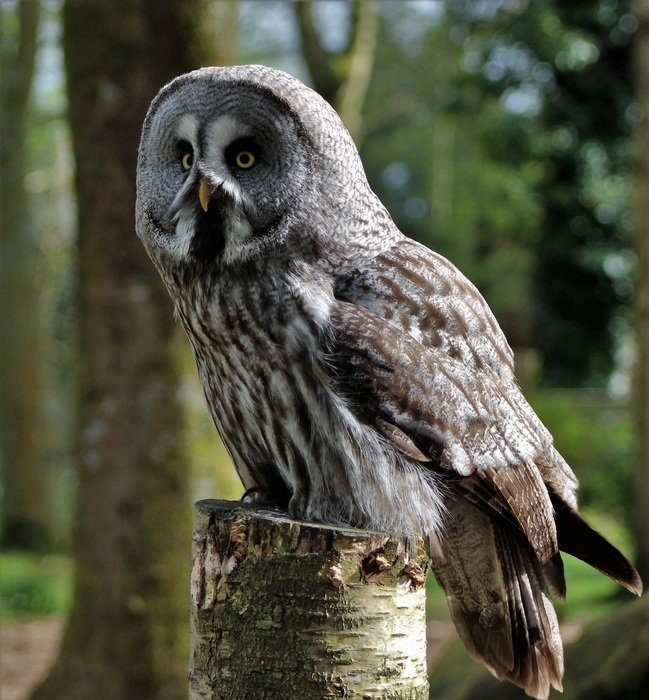 Grey Owl Large Owl Owl Bird
