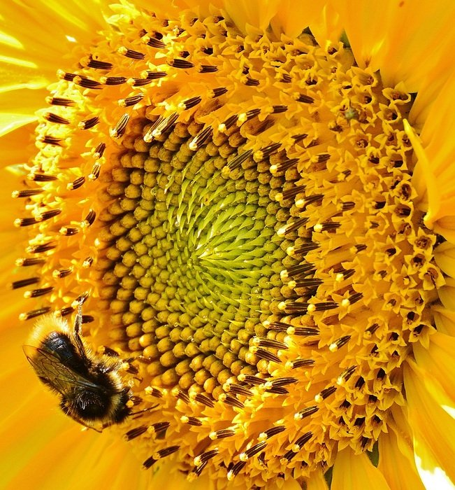 bee on the yellow sunflower
