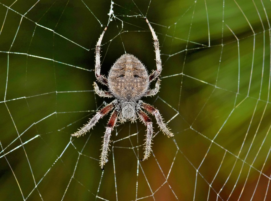 orb spider on the web