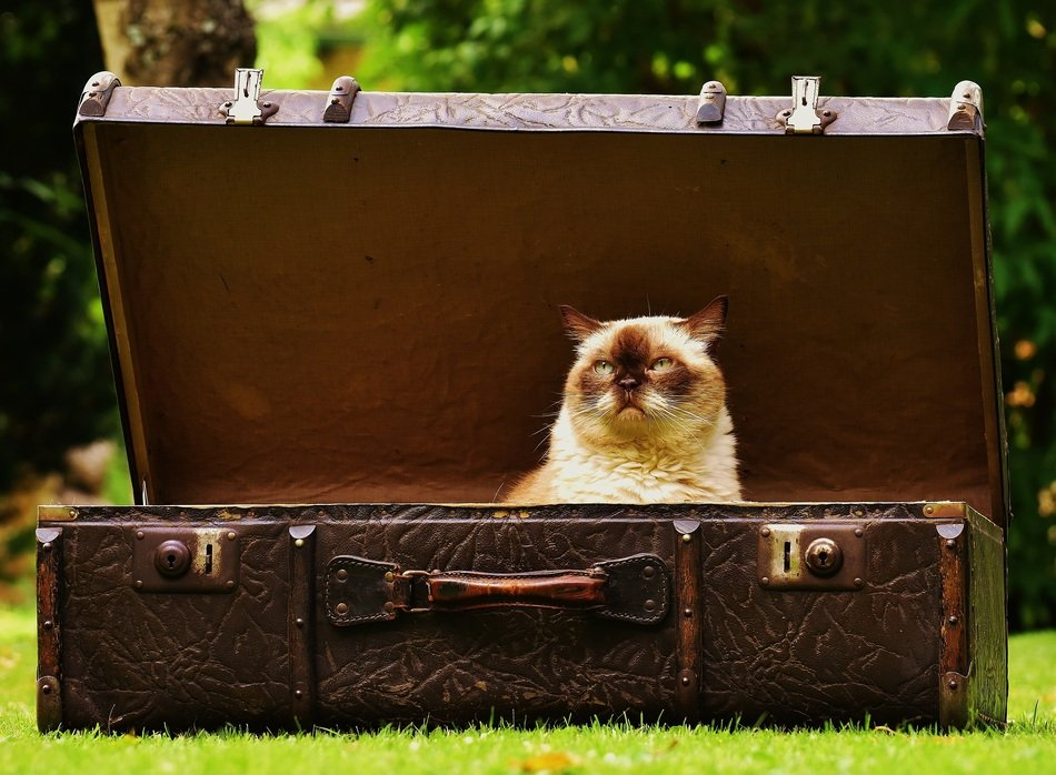 domestic cat in the luggage