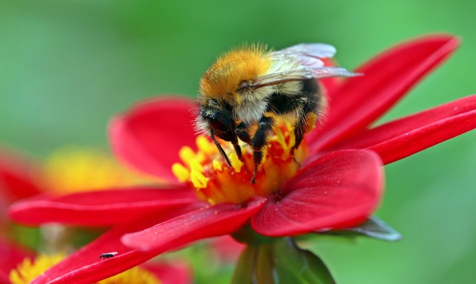 wild bumblebee collecting nectar