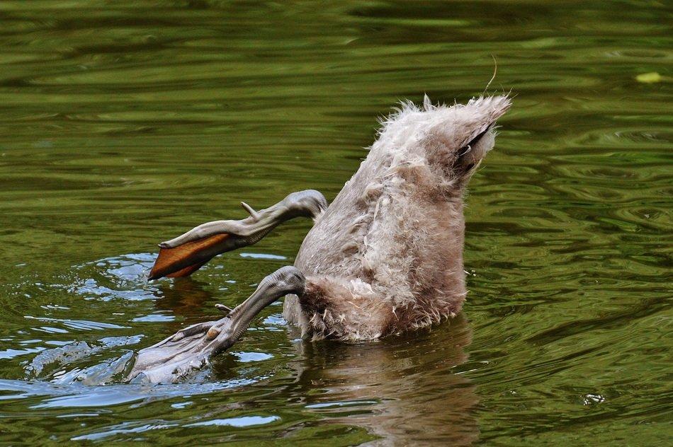diving young swan