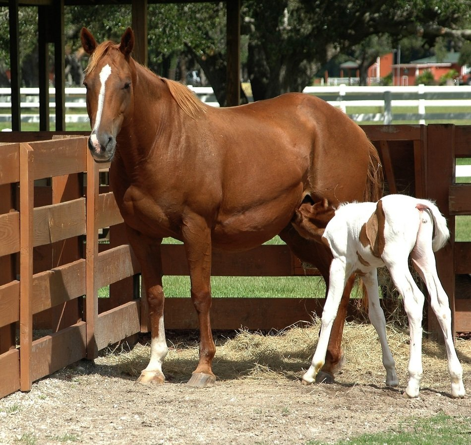 foal feeds on mother's milk