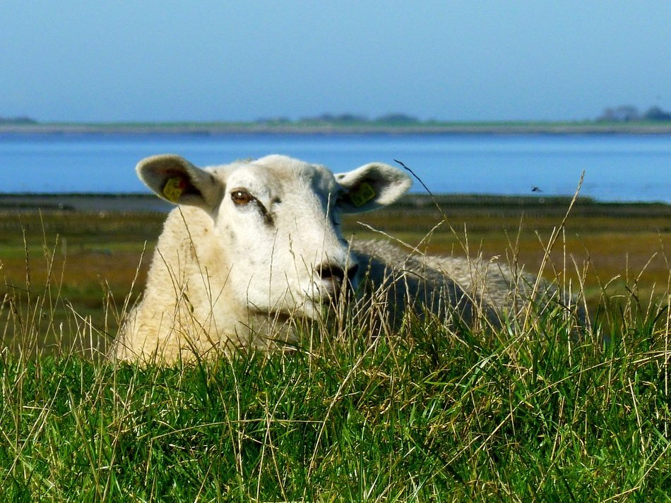 sheep in a meadow by the north sea