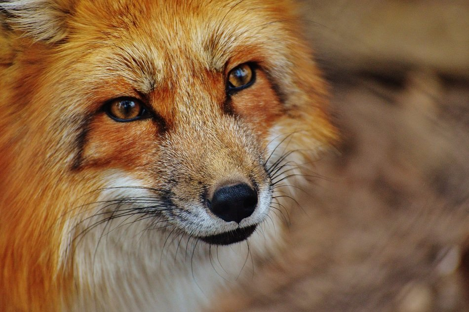 red fox has brown eyes and a piercing gaze