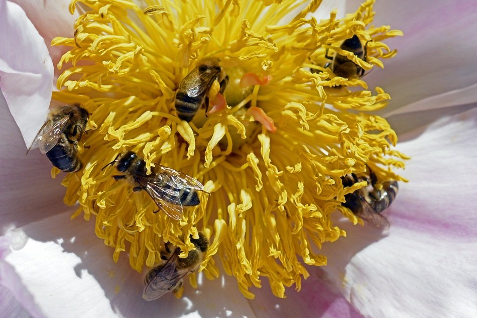many bees on a yellow flower close up