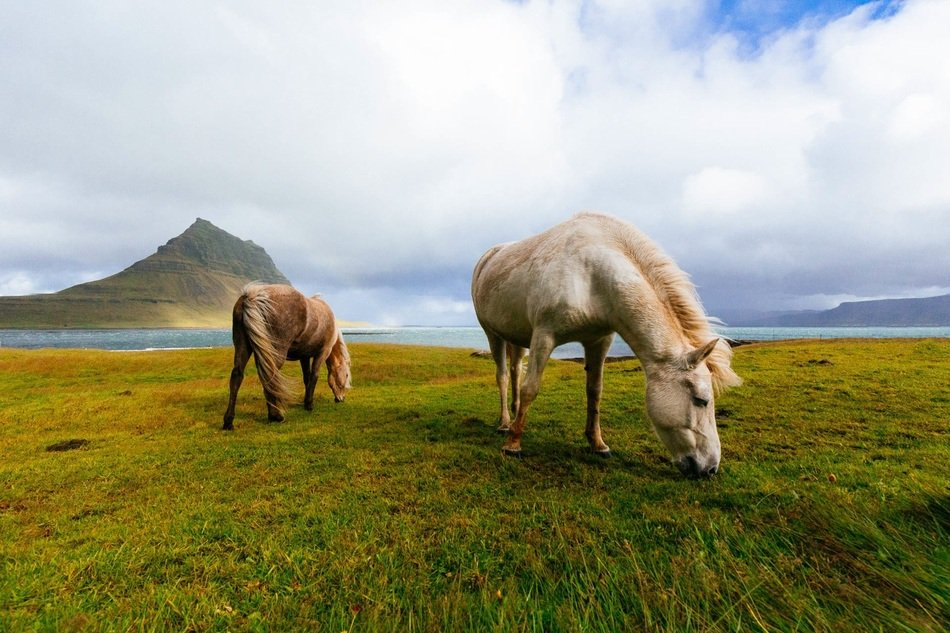 Horses on the grazing