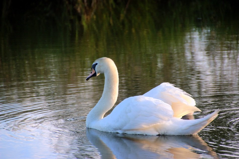 graceful swan on the water