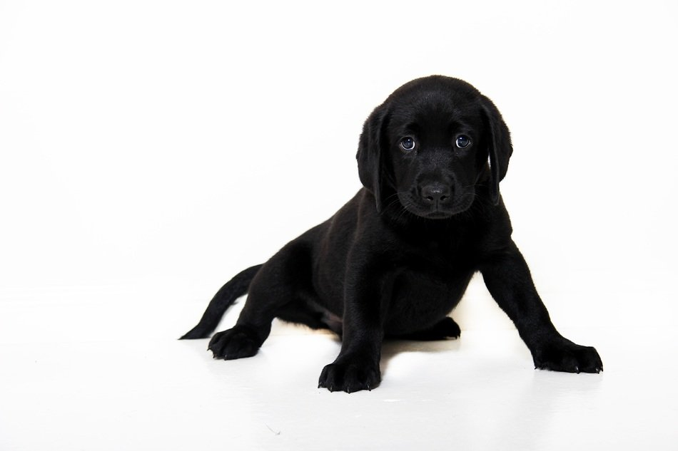 Black Puppy Dog looking straight