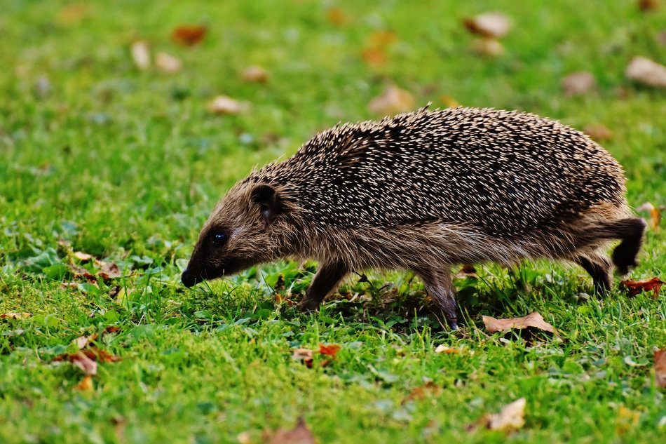 spiny hedgehog goes on a green grass