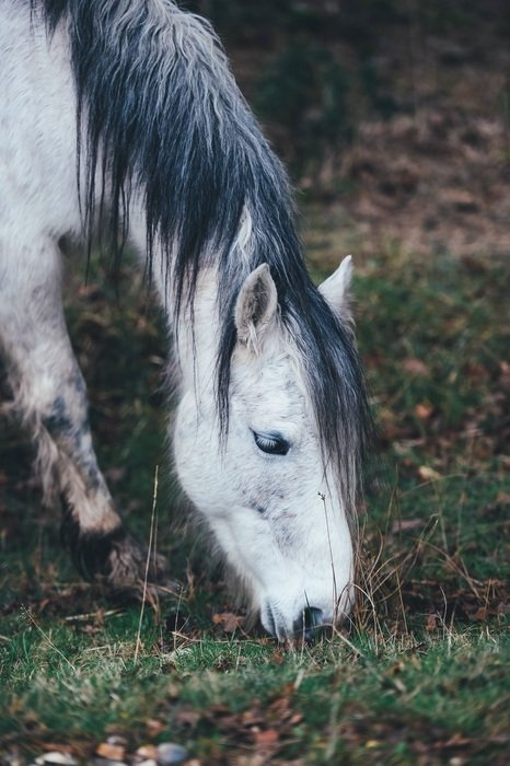 white pony Horse Grazing outdoors