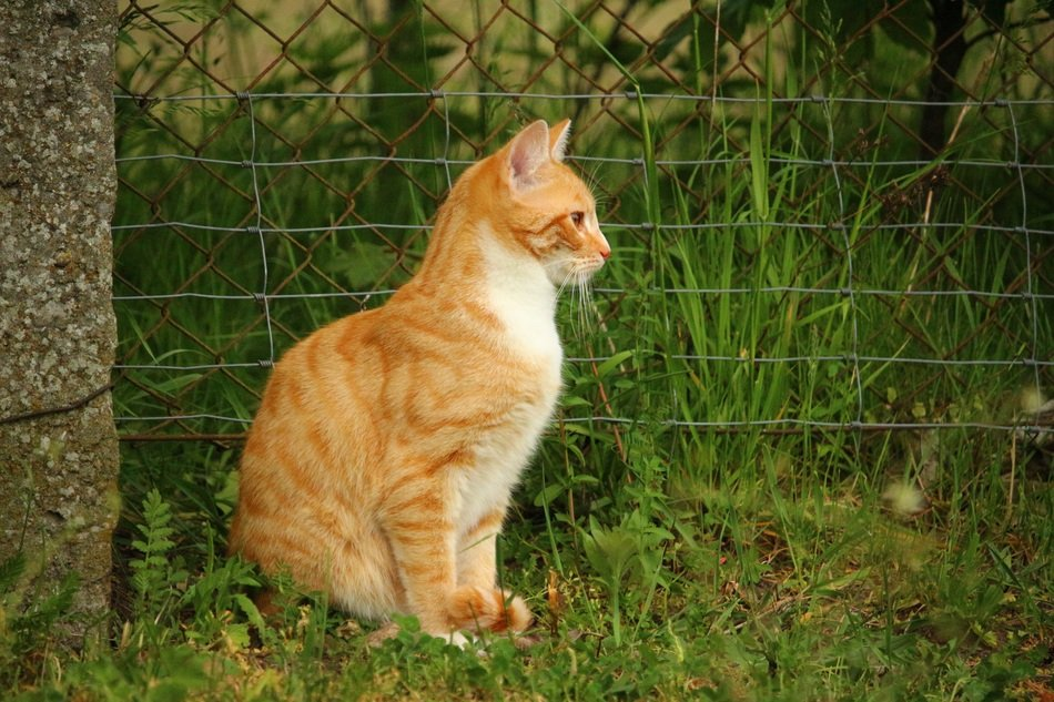 young red tabby cat outdoor