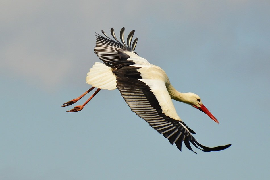 flying elegant stork