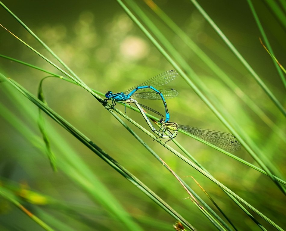 mating dragonflies on thin stems of a plant